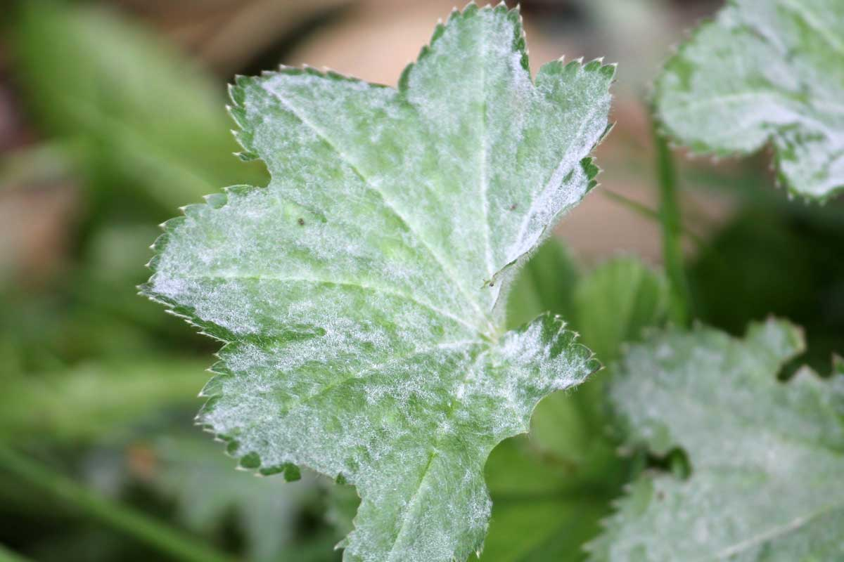 A Complete Guide to Powdery Mildew and Keeping Your Plants Healthy