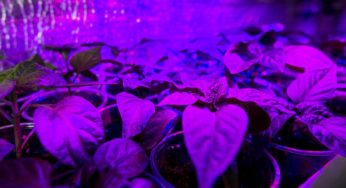 CMH vs LED : Which Light is Best? - Hydroponics Supplies
