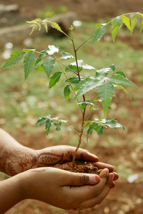 Neem branch in soil held by hands